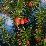 Drie soorten Taxus voor elk soort tuin